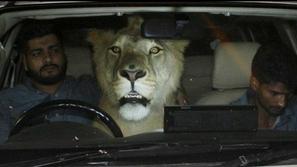 أسد في سيارة يثير دهشة سكان مدينة باكستانية