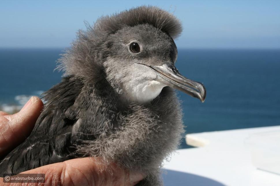 نيوزيلندا توفر سيارات أجرة للطيور البحرية المعرضة للانقراض