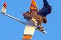 صقر يسقط طائرة تعمل بالريموت
