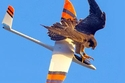 صقر يهاجم طائرة بالريموت